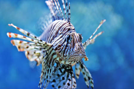 beautiful lionfish swimming in the water column Stock Photo