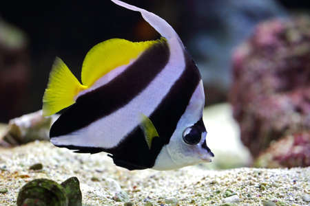 beautiful butterfly fish swims among the coral photo