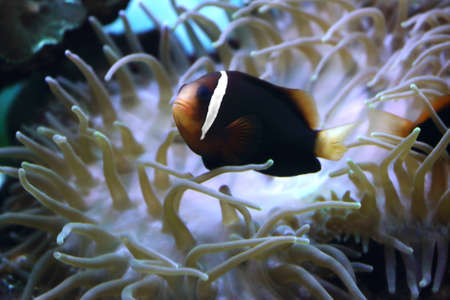 clown Fish and anemone photo