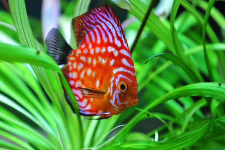 beautiful red discus swimming in an aquarium photo