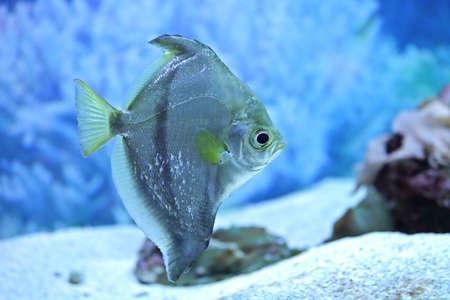 argentum: monodaktil fish