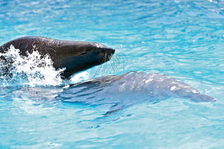 seal is riding on a dolphin in the pool photo