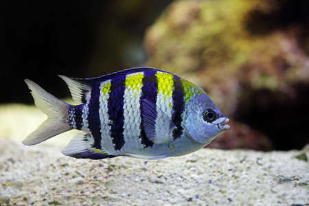 major ocean: Sergeant Major fish