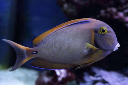 surgeon fish: hermosas moradas pez nada cirujano entre los corales