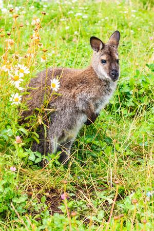 chordates: Kangaroo; Australia