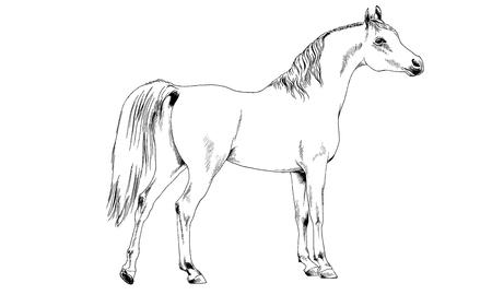 Cheval de course sans harnais dessiné en encre à la main sur fond blanc en pleine longueur Banque d'images - 76840781