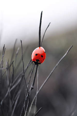 Ladybird on the burnt grass Stock Photo - 20172395