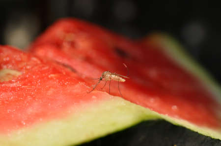gnat: Mosquito at the time when he sucks the juice from the watermelon