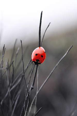 Ladybug on the burnt grass Stock Photo - 20172469
