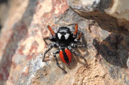 salticidae: Spider Salticidae in Armenia