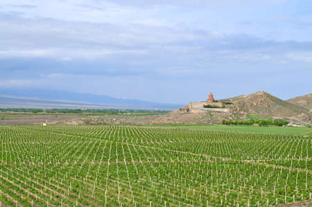 grape field: Grape field near the border with Turkey on the background of the monastery Khor Virap Stock Photo