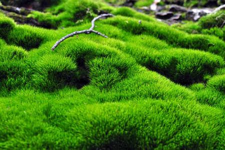 Inschrijving groene vegetatie in het bos mos kolonies
