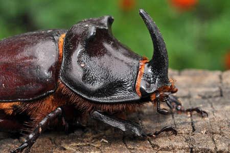 oryctes: The European rhinoceros beetle (Oryctes nasicornis) is a large flying beetle belonging to the family Dynastinae. Stock Photo