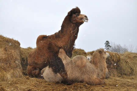 animal sex: Pairing domestic Bactrian camels on the background of hay Stock Photo