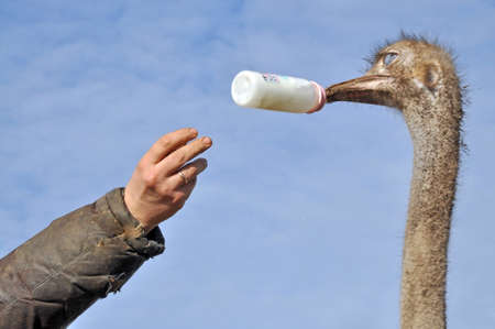 zoo animal: African ostrich pecking proposed him a bottle with a pacifier Stock Photo