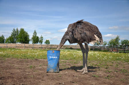 The comic image of the ostrich that hiding its head