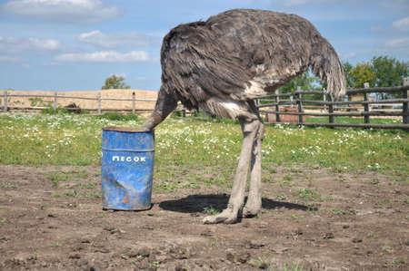 Afrikanischer Strauß den Kopf in den Sand versteckt Standard-Bild - 45322600
