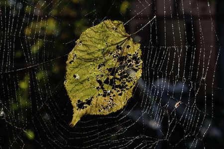 faded: Faded linden leaf  in a cobweb .  autumn