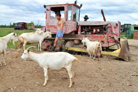 cowards: Tractor driver in cowards with a herd of goats on a farm. Russia