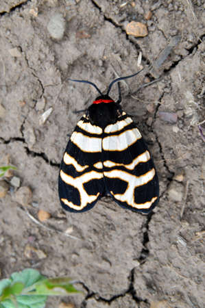 festiva: The Hebe Tiger Moth (Arctia festiva) is a moth species of the family Arctiidae.