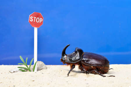 caution sign: Rhinoceros beetle on the sand in front of the road sign stop
