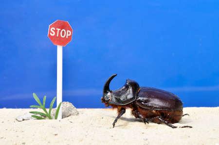 Escarabajo de rinoceronte en la arena frente a la parada de la muestra de camino