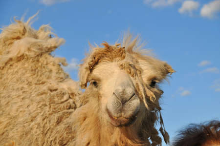 dreadlock: Young Bactrian camel during moulting