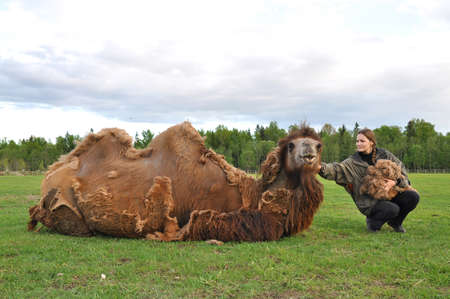 molting: Bactrian camels during molting. Gathering wool on a farm