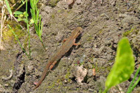 newt: A newt is  amphibian of the family Salamandridae . nature of  Russia