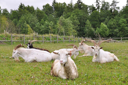 bovid: A herd of adult goats with horns resting in the grass Stock Photo