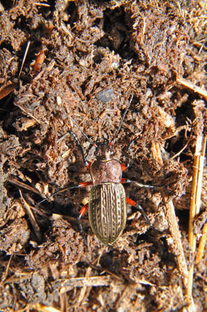 carabid: Ground beetles are a large family of beetles, Carabidae. Russia. Leningrad region