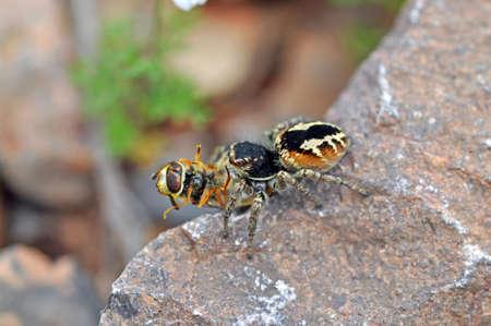 spider Salticidae has caught a fly Syrphidae. Armenia