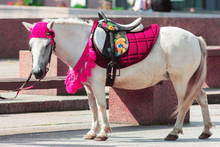 little white pony horse with funny pink blanket closeup