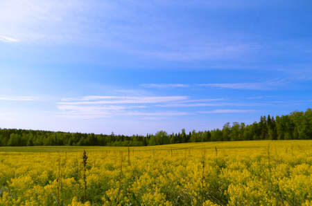 beautiful yellow field and a blue sky photo