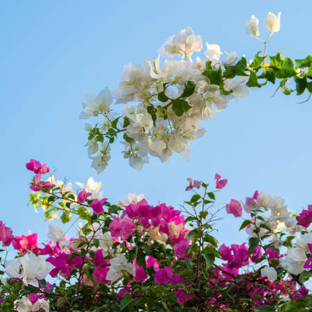 pink and white flowers on a blue background photo