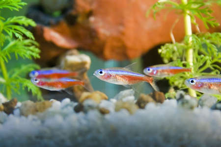 neon tetra: tetra neons in aquarium