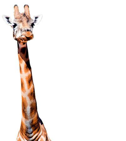 gregarious: giraffe isolated