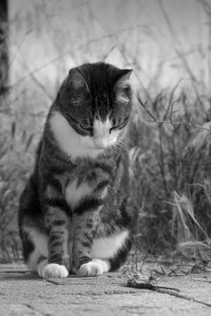 plucky: cat watching its freshly caught mouse