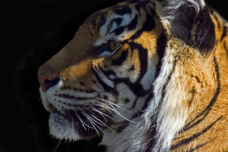 tiger isolated photo