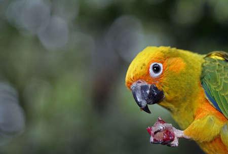 sun conure parrot eating a grape photo