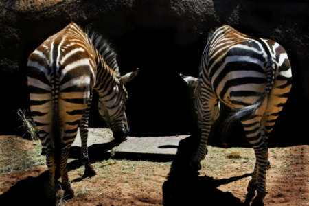 freaked: two zebras in soft focus Stock Photo