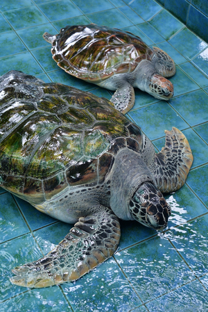 endanger: Injured Sea Turtles were treated at aquarium