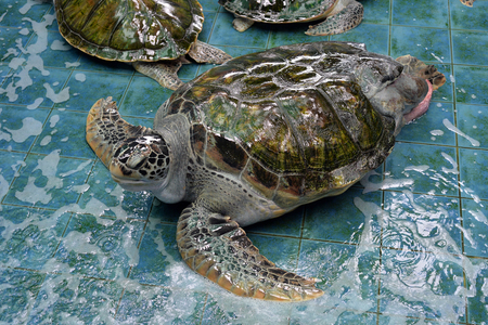 treated: Injured Turtles were treated at aquarium