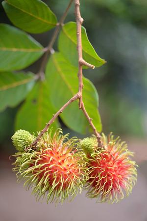tree plantation: Ripe rambutan fruit tree plantation, selective focus