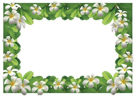 Frangipani flowers - border White background Stock Photo