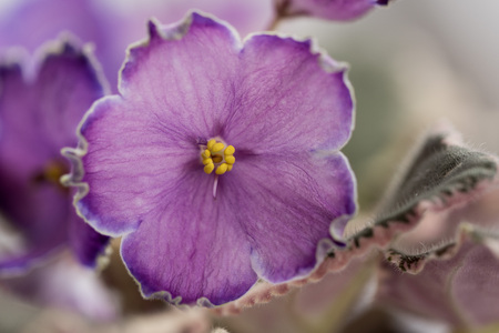 Varietal violet grade evening escort Banque d'images