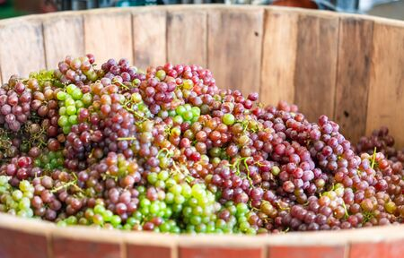 Brunch of Wine Grapes Inside a Wooden Barrel for Trampling According to the Ancient Traditional Method