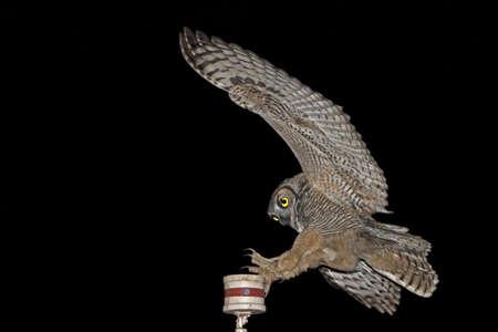Great Horned Owl landing on flagpole Stock Photo - 10732710