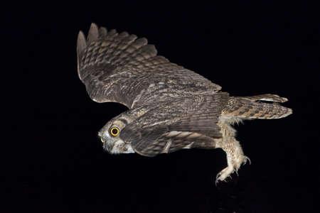Great Honred Owl flying
