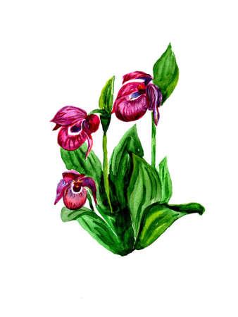 Watercolor the rare Ladys Slipper Orchid (Cypripedium calceolus)  photo
